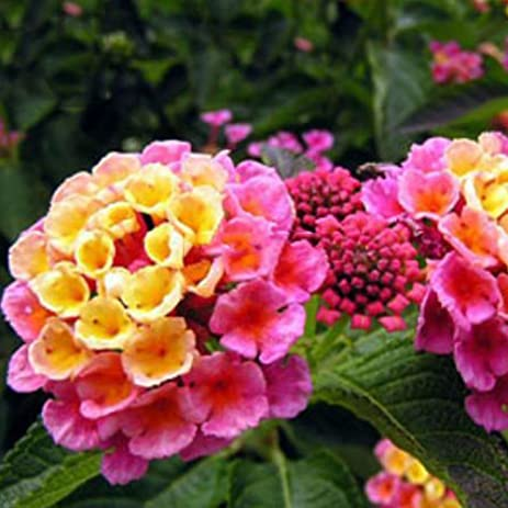 Amazon best garden seeds natural pink yellow lantana camara best garden seeds natural pink yellow lantana camara perennial flowers 10 seeds christine mightylinksfo Image collections