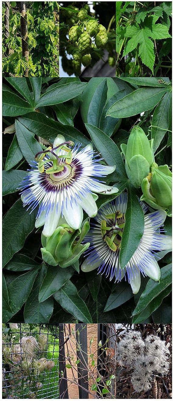 Planta trepadora plurianual - Set de regalo- Semillas con 3 impresionantes variedades de plantas trepadoras: Amazon.es: Jardín