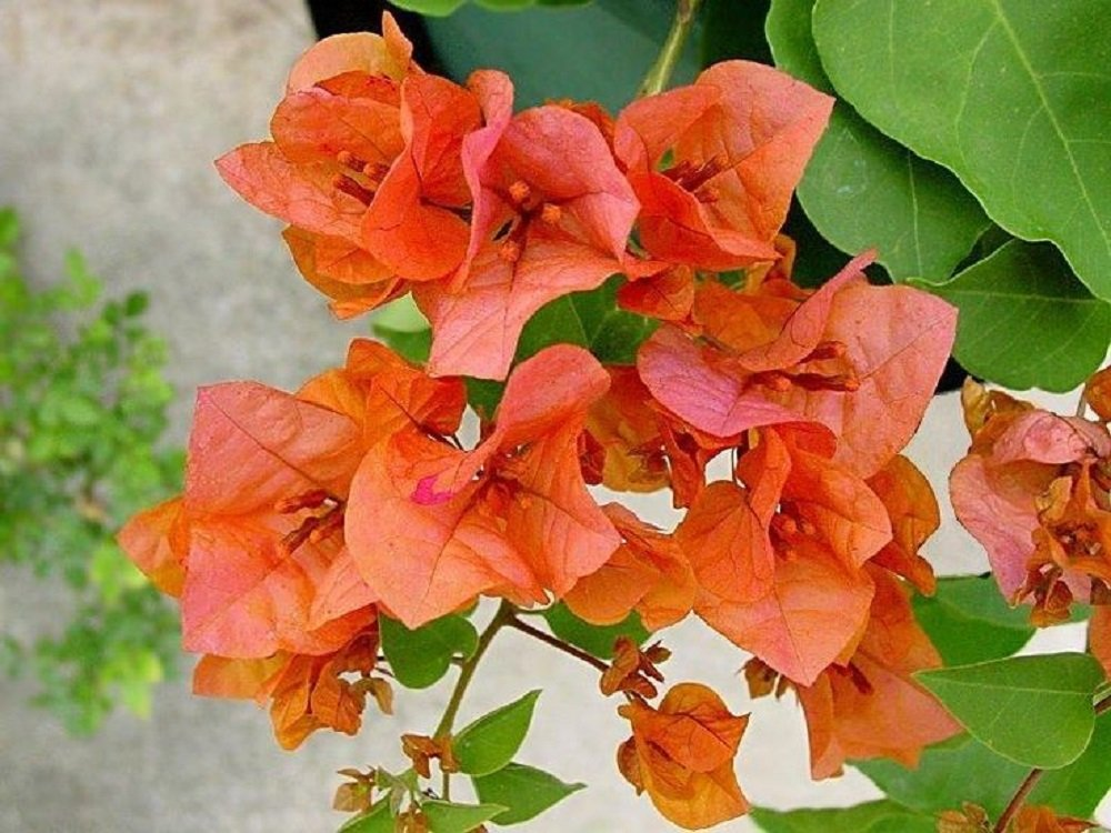 Bougainvillea 'Orange King' Starter Plant