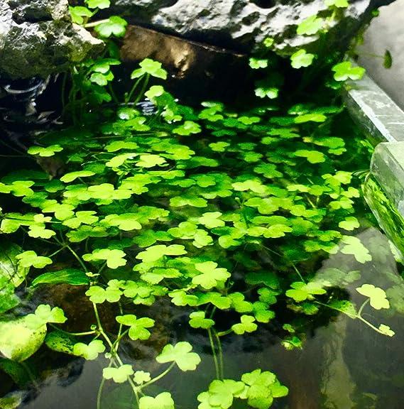 Dwarf Pennywort Hydrocotyle Tripartita Japan Tissue Culture Live Aquarium Plants
