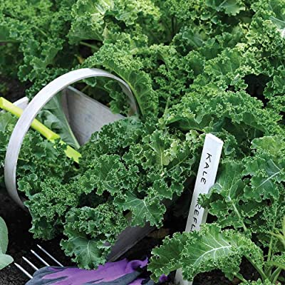 Earth Seeds Co 100 Pcs Kale Seeds F1 Reflex Hardy Annual High Levels of Vitamins A and C Organic Vegetable Seeds Ideal for beds and Borders, Patio pots and containers : Garden & Outdoor