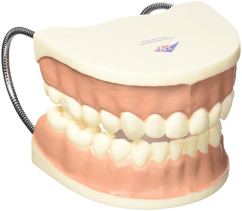 100%品質 歯磨き指導用3倍大モデル B007NCUZOY B007NCUZOY, AQUA-F:510e7279 --- a0267596.xsph.ru