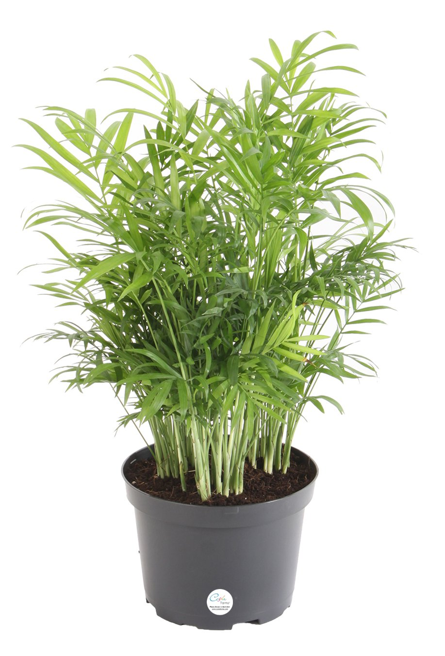 Costa Farms Neanthebella Parlor Palm Live Indoor Plant, 14-Inch Neathebella, Ships in Grower's Pot