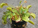 3 Small Venus Flytraps - Fly Trap