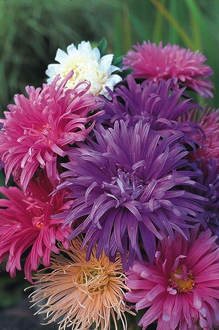 Amazon.com: 40 semillas de avestruz plume de corte variado ...
