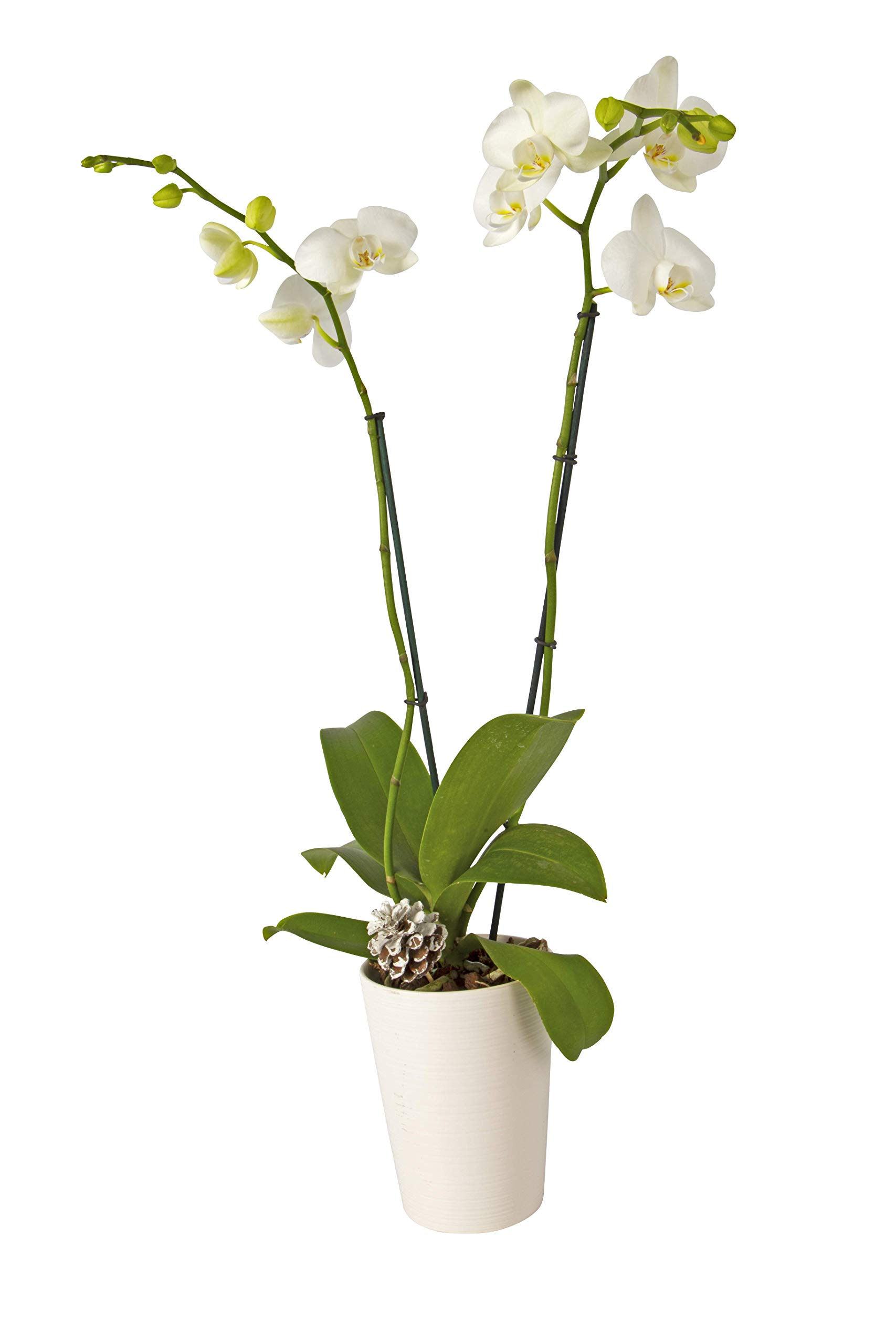 Color Orchids Live Holiday Orchid Blooming Double Stem Phalaenopsis Plant in Ceramic Pot, 20''-24'' Tall, White Blooms