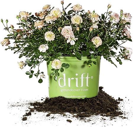 Amazon Com Perfect Plants Apricot Drift Rose Live Plant 3 Gallon