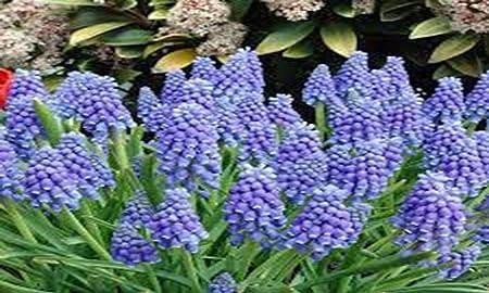 Amazon Com Hyacinth Grape Bulbs 20 Pack Beautiful Purple