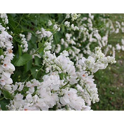 18+ Rare White ALBA Coral Vine Seeds Vigorous Bloomer OL : Garden & Outdoor