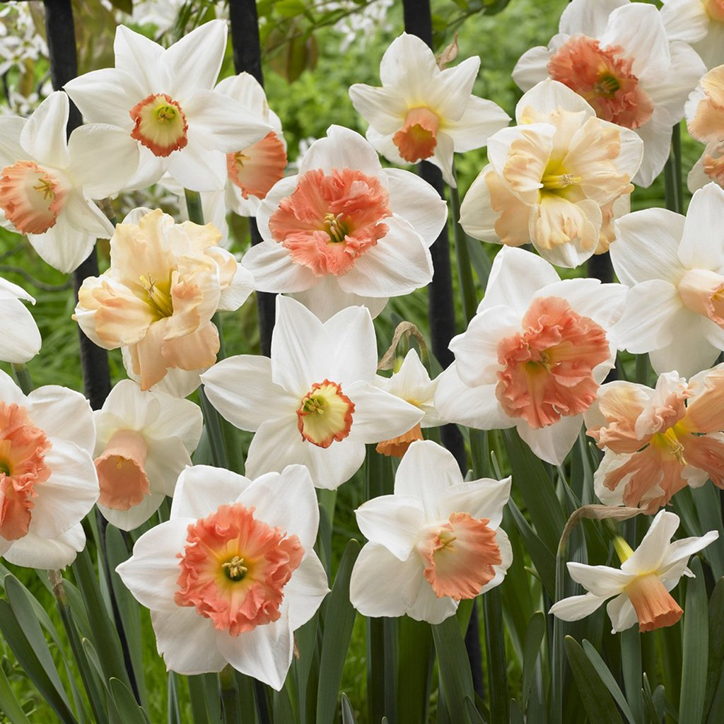 Van Zyverden Daffodils Pink Mixture Set of 15 Bulbs