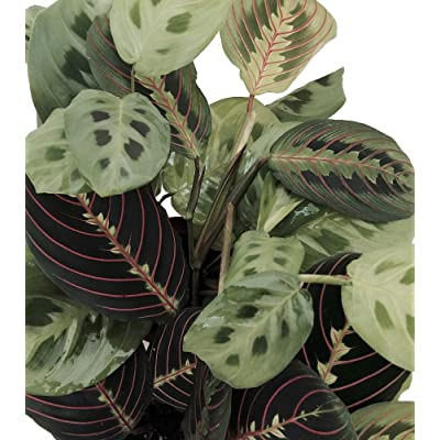 "Shop Succulents | Maranta Red 'Prayer Plant', Naturally Air Purifying House Plant, Easy Care, Live Indoor House Plant in | Collection of 2 in 4"" Pots: Garden & Outdoor"
