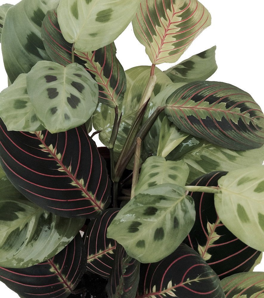Shop Succulents 2 Prayer Plant - Maranta - Easy to Grow - 4'' Pot