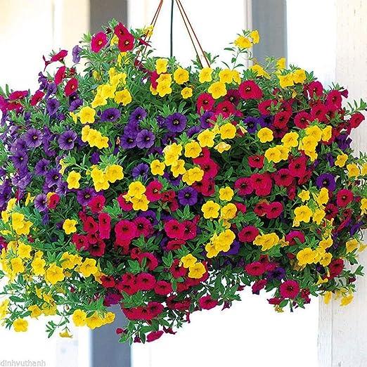 ADOLENB Seed House - 100/200 Hermosa flor de mañana Morning Glory Semillas Jardín Bonsai Pot Flor: Amazon.es: Jardín
