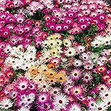 """2000 ICE PLANT SEEDS - 'Magic Carpet"""" - Mesembryanthemum criniflorum"""