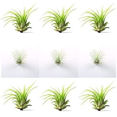 9 Air Plant Variety Pack (6 Ionantha, 3 Fuchsii) - Free Care Guide : Garden & Outdoor