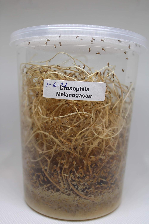 Fresh Fruit Fly Culture (Drosophila Melanogaster) - Praying Mantis Mantid Frog Lizard Food - 32oz Cup
