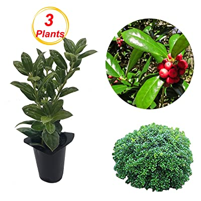 "COMFOREST Dwarf Burford Holly Live Tree, 3 Plants 4"" Pot, Evergreen Shrub with Glossy Green Foliage : Garden & Outdoor"