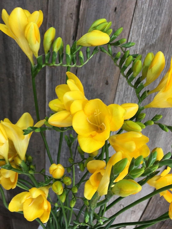 Amazon 20 Bulbs Freesia Single Yellow Most Popular Flower