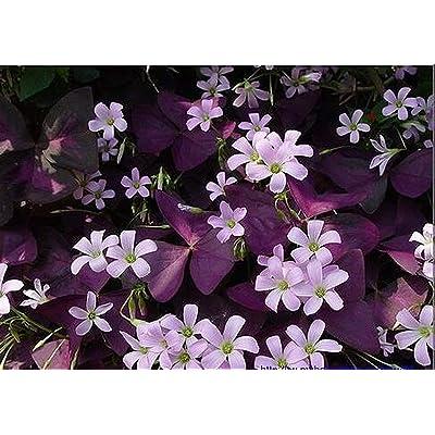 200pcs Clover Seeds -Red Oxalis Wood Sorrel Flower Oxalis Purple Shamrock Clover 100% Real Flower Bonsai Seeds Perennial Outdoor for Home Garden : Garden & Outdoor