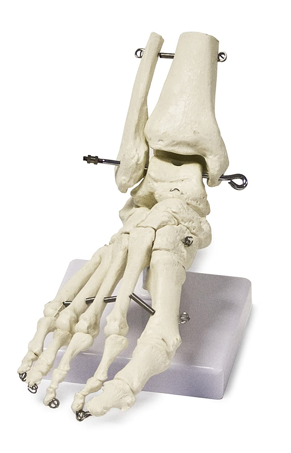 Vision Scientific VAJ211 Foot Skeleton Model Right | Shows Distal Portions of the Tibia and Fibula | Fully Articulated | Connected With Flexible Wire to Demonstrate Natural Movement