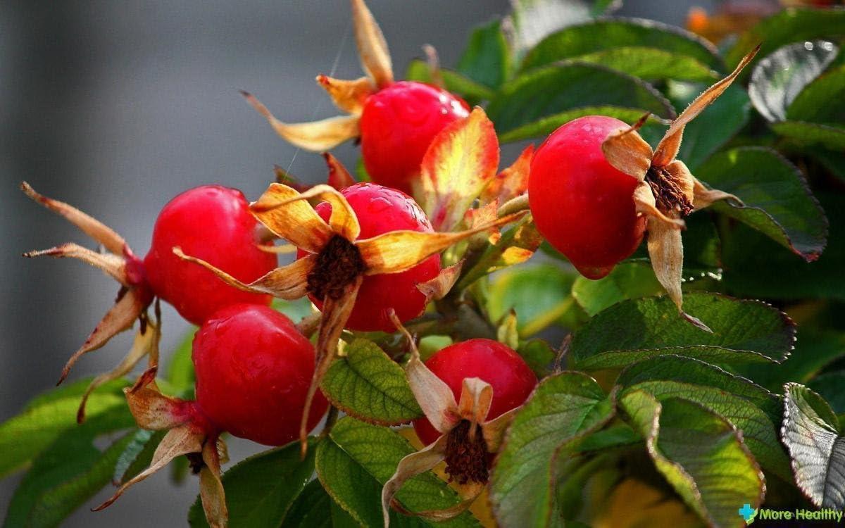 Rosehip bush officinal seeds Rose Canina from Ukraine