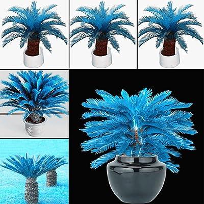 AT27clekca Blue Cycad Seeds Repair Tool 100 Pcs Blue Sago Palm Tree Seeds Cycad Bonsai Planting Home Garden Decoration : Garden & Outdoor