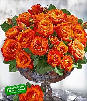 1 Pflanze Duftrosen Edelrose BALDUR-Garten Delbard/® Parfum-Rosen France Libre/®