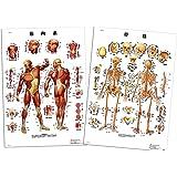 人体 解剖 ポスター 骨格 ・ 筋肉 セット B2サイズ