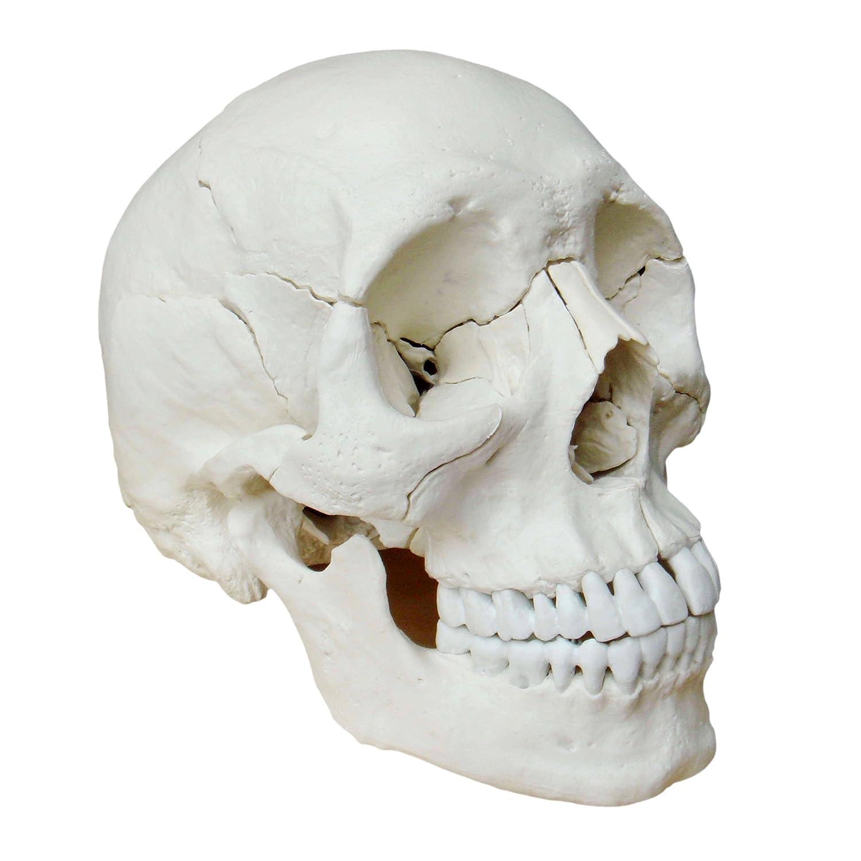 S Modelo osteopático del cráneo humano de piezas versión color natural cráneo