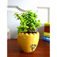 Rolling Nature Good Luck Jade Plant In Yellow Ruffel Aroez Ceramic Pot