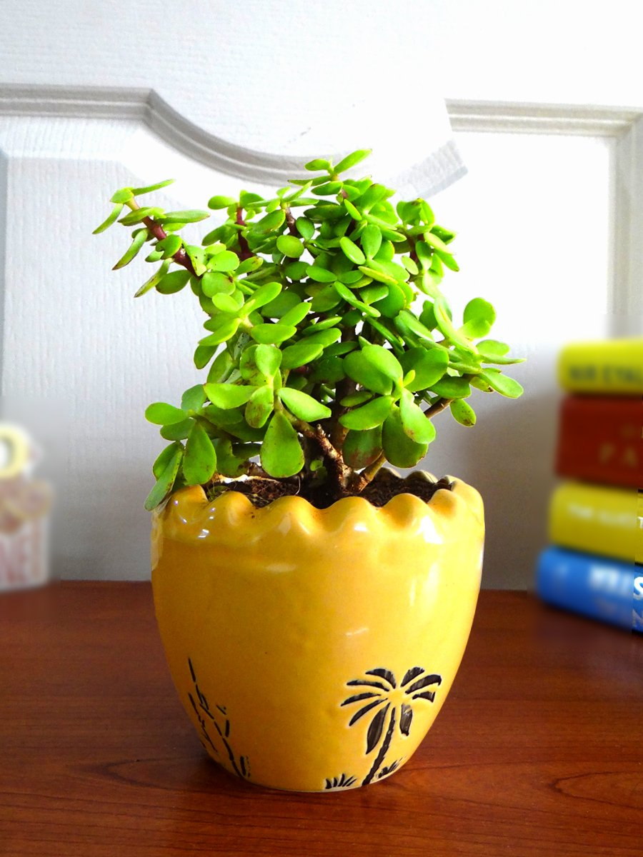all bloggers den - Jade Plant