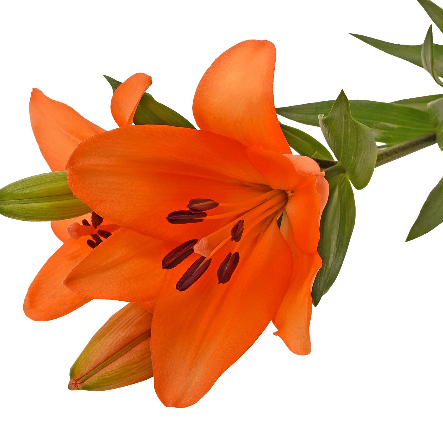 Farm Fresh Natural Orange LA Hybrid Lilies - 40 Stems by Bloomingmore
