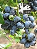 Organic Highbush Blueberry (Heirloom) 450+ Seeds 646263361894 Self Fertile + 3 Free Plant Marker