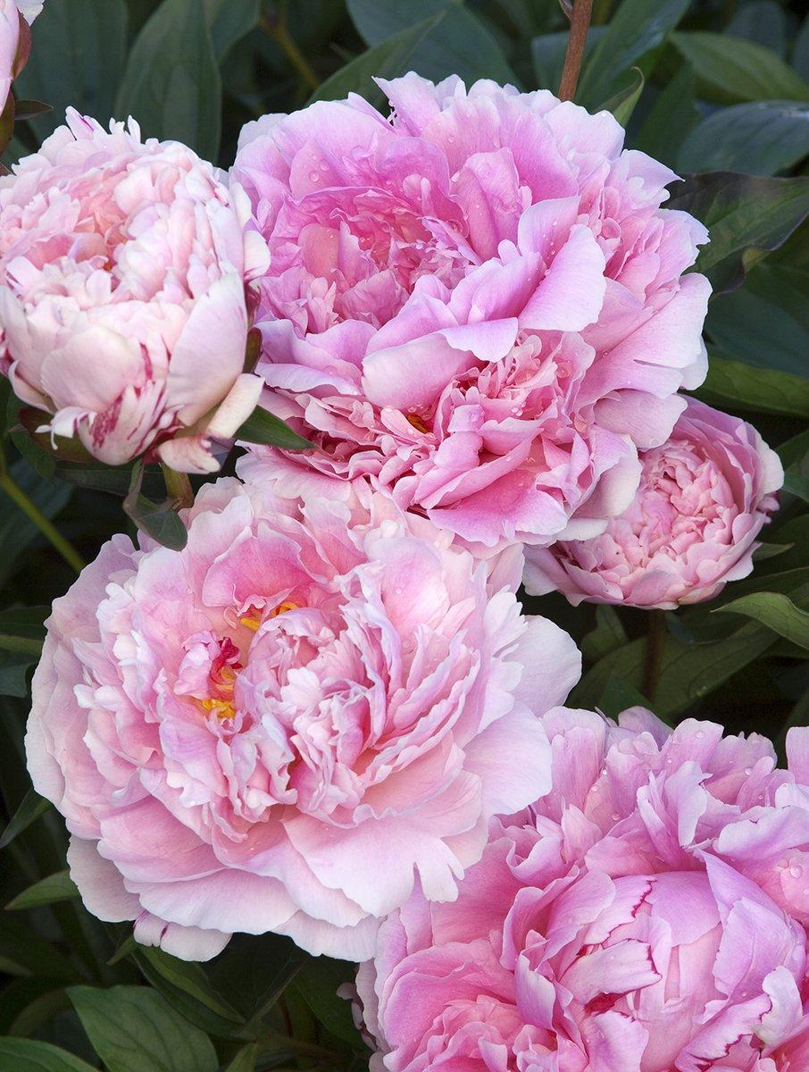 Peonia Peony Sarah Bernhardt Paeonia bulbo//tub/érculo // ra/íz