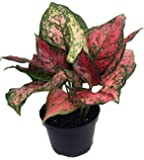 "Anyamanee Chinese Evergreen Plant - Aglaonema - Grows in Dim Light - 6"" Pot"