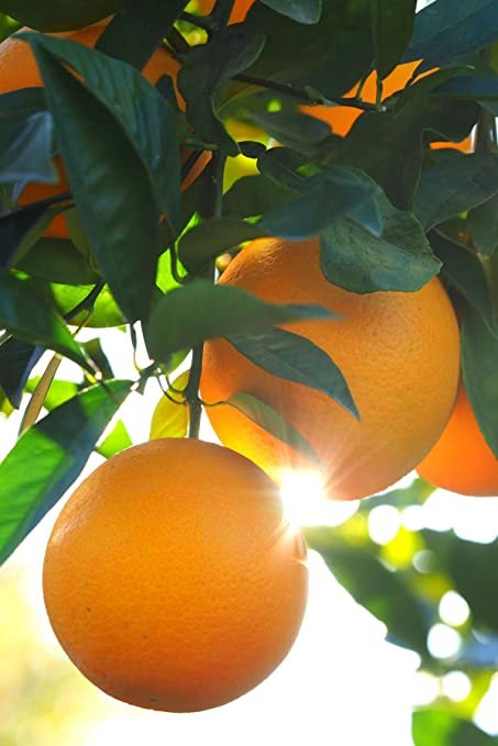 Dwarf Valencia Orange Tree Seedless Citrus Excludes Ca Tx La Az