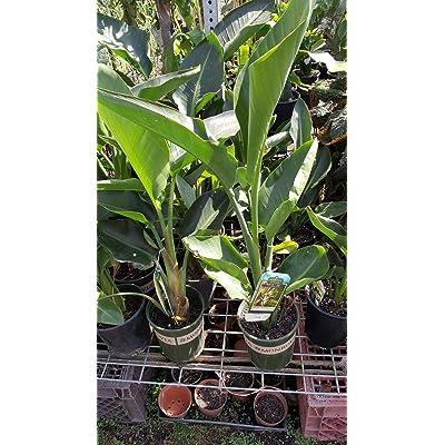 AchmadAnam - Live Plant - Giant White Bird of Paradise (Strelitzia Nicolai)- 2 to 3 Feet Tall - Ship in 3 Gal Pot. E9 : Garden & Outdoor