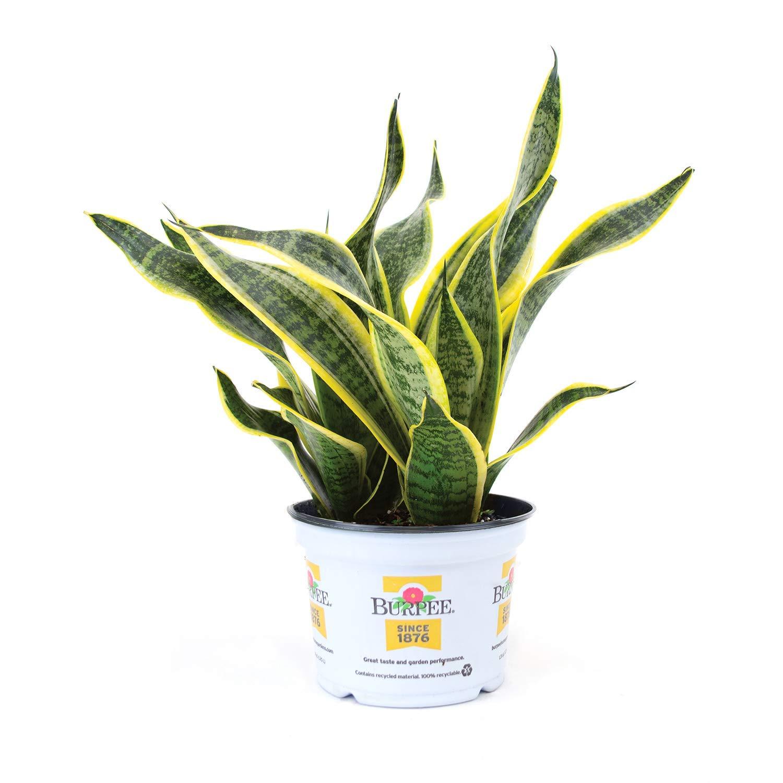 Burpee Sanseviera laurentii Golden Snake Indirect Medium Light | Live Easy Care Indoor House Plant, 6'' Pot by Burpee