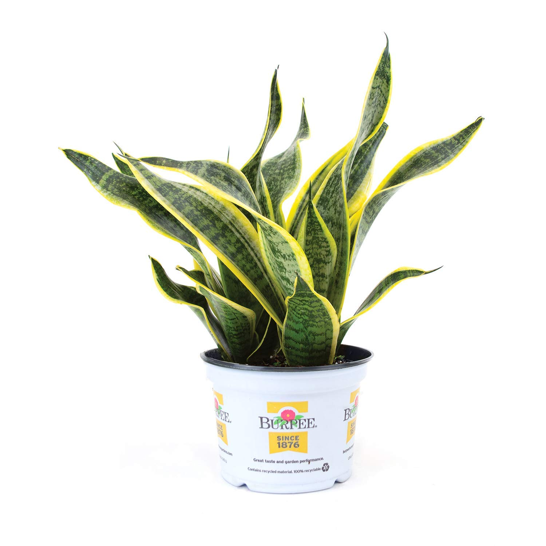 Burpee Sanseviera laurentii Golden Snake Indirect Medium Light     Live Easy Care Indoor House Plant, 6'' Pot