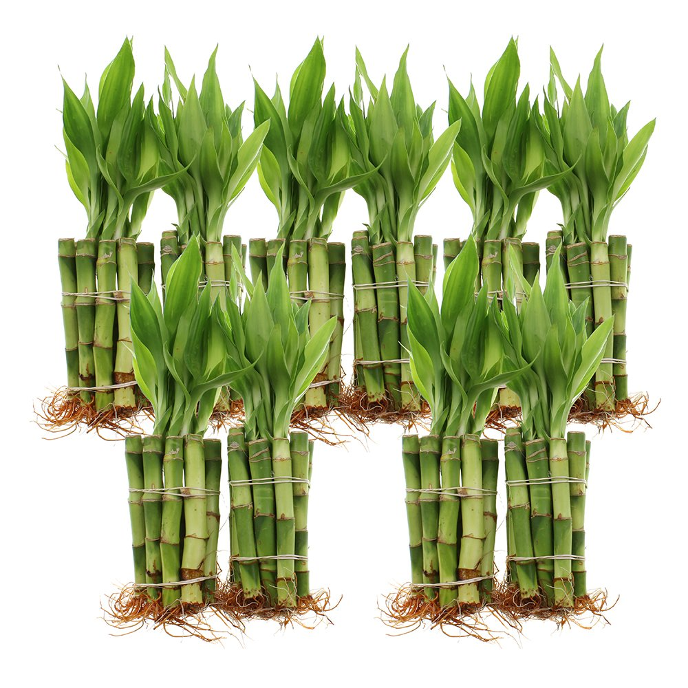 Live Lucky Bamboo 4-Inch Bundle of 100 Stalks - Live Indoor Plants for Home Decor, Arts & Crafts, and Feng Shui by NW Wholesaler