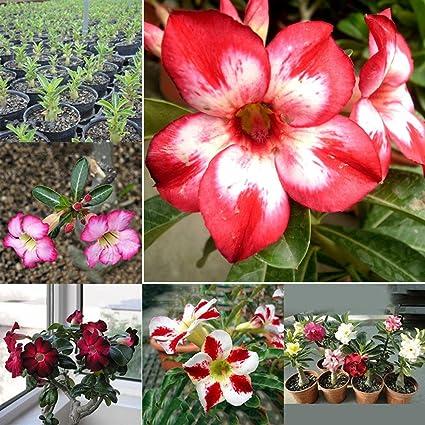 Afco 20Pcs Adenium Obesum Seeds Desert Rose Perennial Flower Plant Garden  Bonsai Wonderful Gardening Gifts
