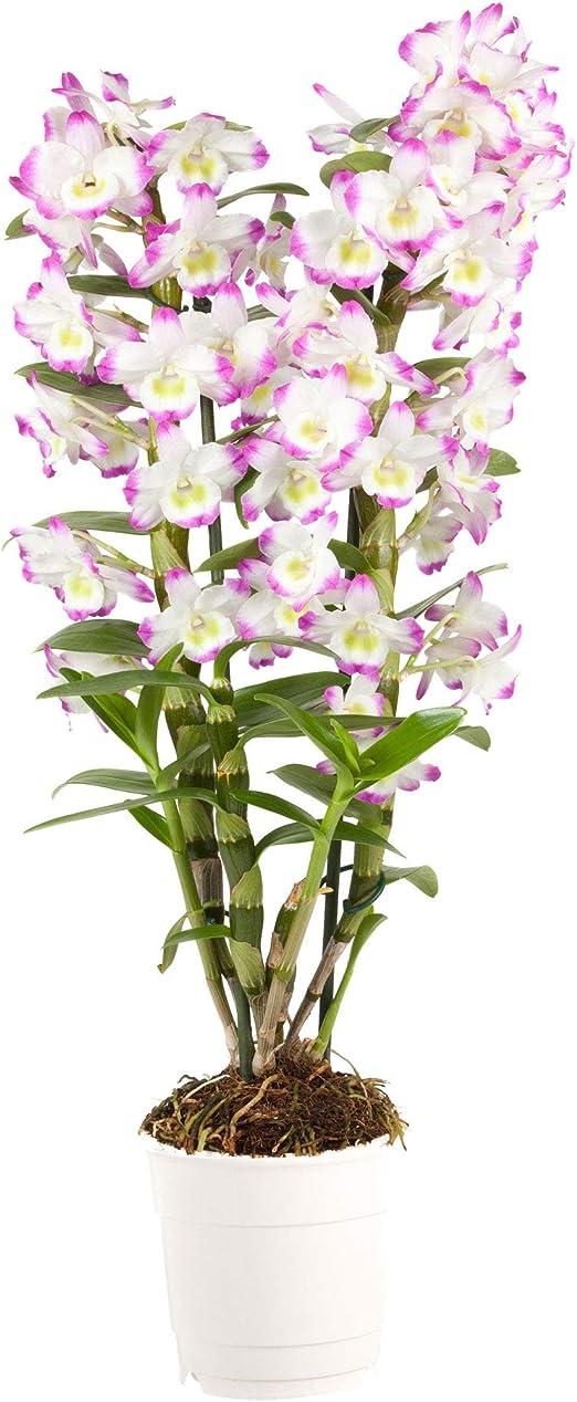 Fiori Orchidea Bianchi.Dendrobium Irene Smile Orchidea Fiori Viola Bianchi Altezza