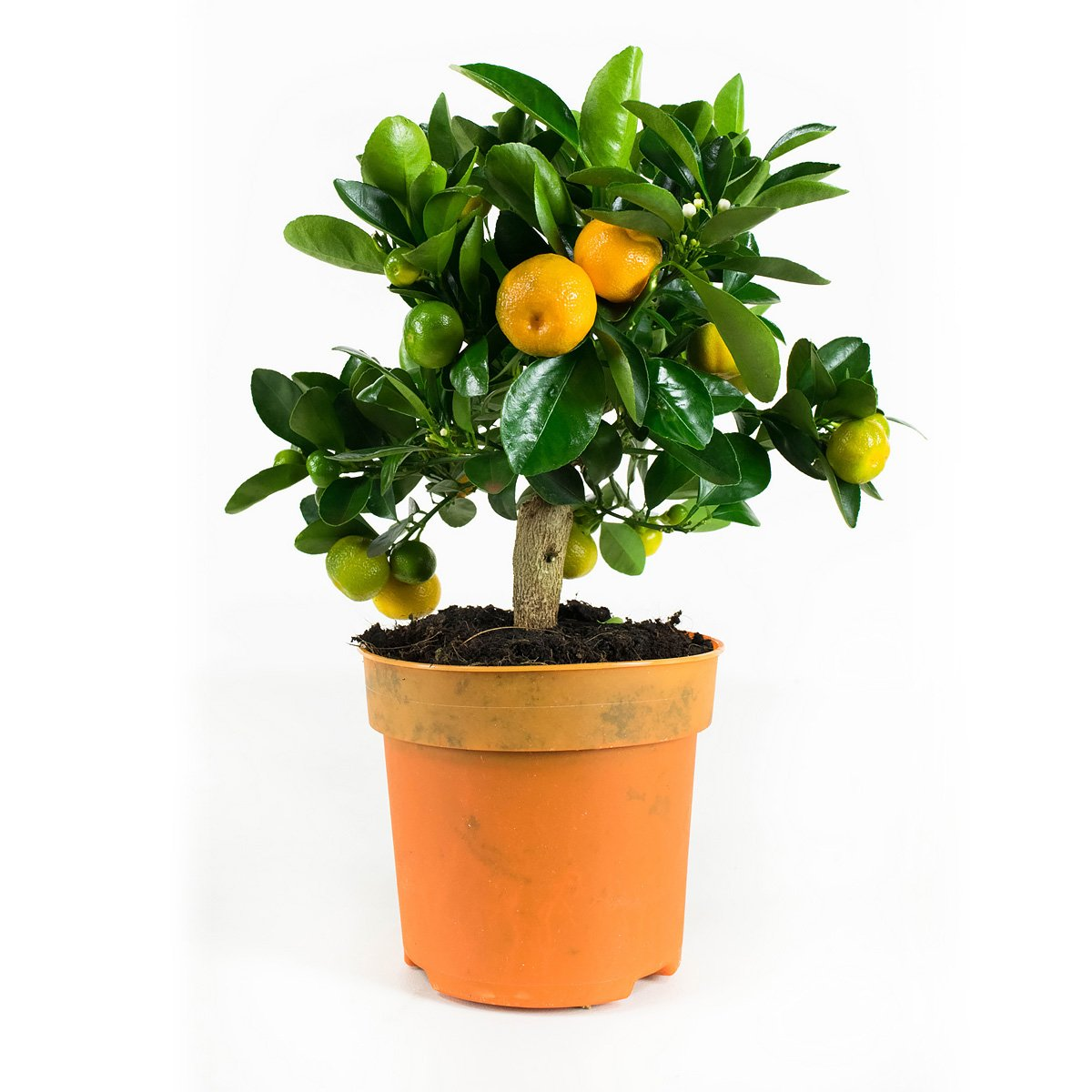 Calamondin or Calamansi with Anthracite Cylindrical Pot as a Set Fruit Plants BOTANICLY Citrus Microcarpa Height: 35 cm