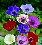 80 Zwiebel Anemonen de Caen Farb-Mischung Größe 4/5 - zu dem Artikel bekommen Sie gratis ein Paar Handschuhe für die Gartenarbeit dazu