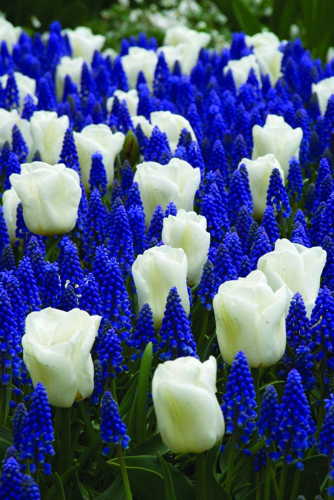 Burpee's Cool Blues Mix - 21 Flower Bulbs | Blue & White |