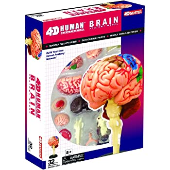 Amazon Human Brain Anatomy Model Build Your Own Toys Games