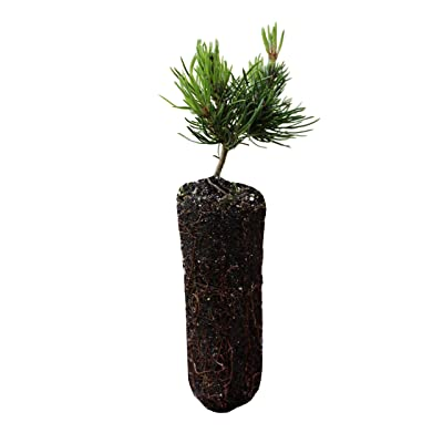 Mugo Pine | Medium Tree Seedling | The Jonsteen Company : Garden & Outdoor