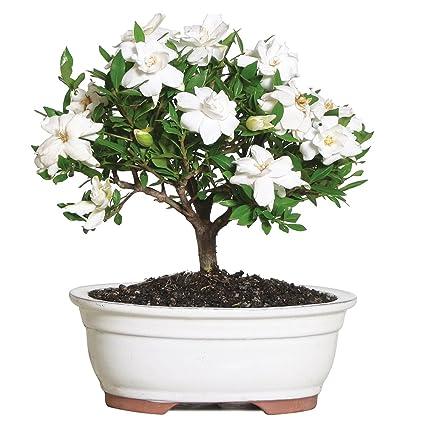 inspiring gardenia house plant. Brussel s Gardenia Bonsai  Medium Outdoor Not Sold in Arizona Amazon com