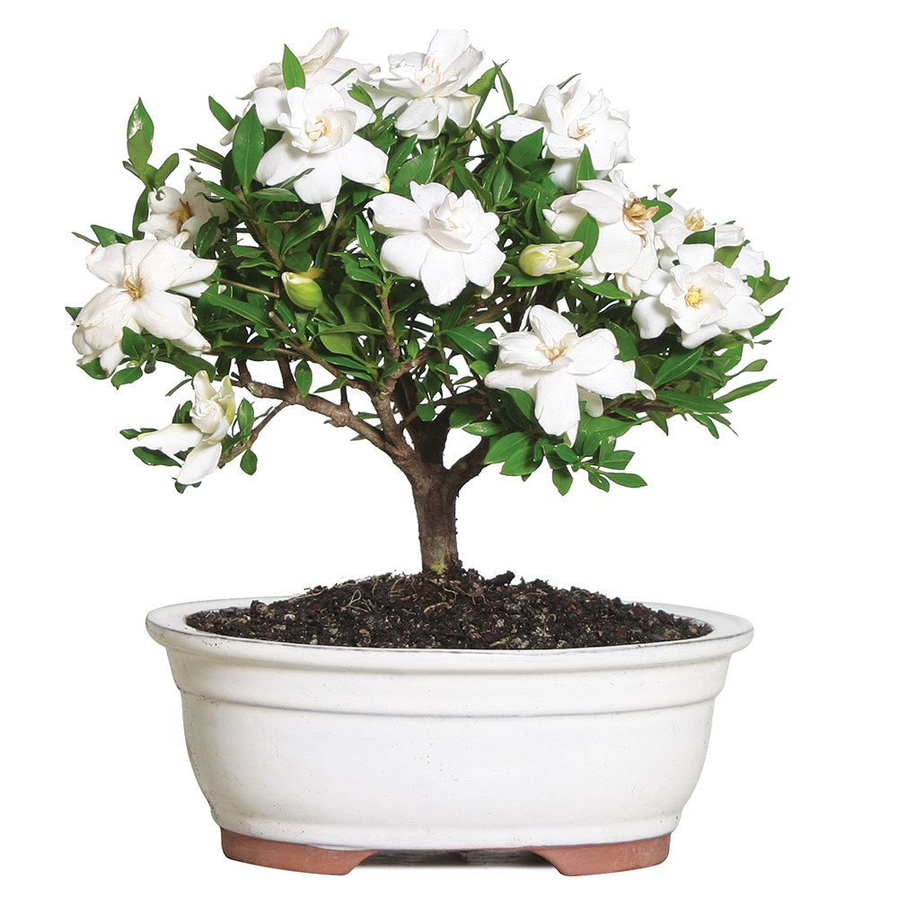 Brussel's Live Gardenia Outdoor Bonsai Tree - 4 Years Old; 6'' to 8'' Tall with Decorative Container - Not Sold in Arizona by Brussel's Bonsai