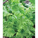 Mustard Greens Seed, Southern Giant, Heirloom, Non GMO, 25+ Seeds